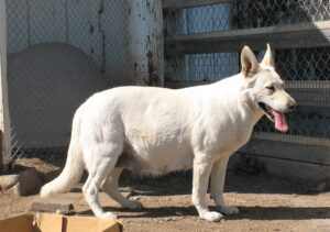Are There Any Common Health Issues with White German Shepherds