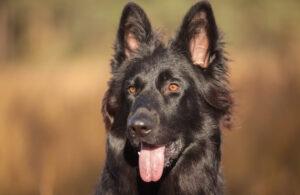 Black German Shepherd Appearance
