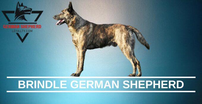 Brindle German Shepherd