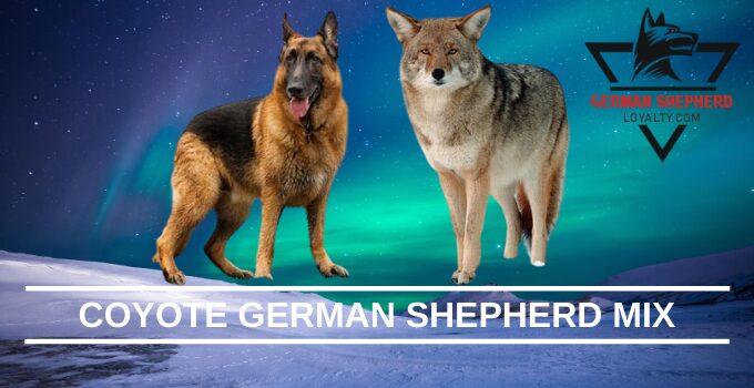 Coyote German Shepherd MIX