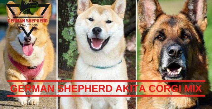 German Shepherd Akita Corgi Mix