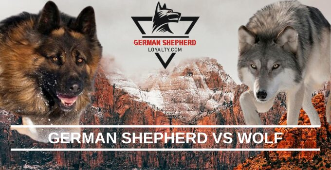 German Shepherd vs Wolf