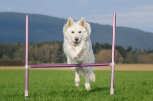 How Much Exercise Does a White German Shepherd Need