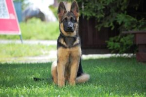 How much to feed a German Shepherd puppy per Day