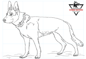 How to Draw a German Shepherd Step by Step