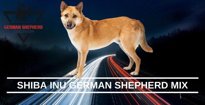 Shiba Inu German Shepherd Mix