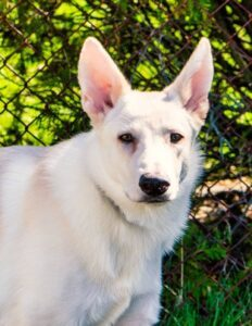 Temperament of the White German Shepherd