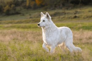 What does White German Shepherd look like