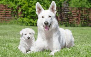White German Shepherds Puppy