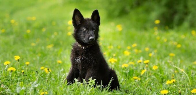black german shepherd lab mix