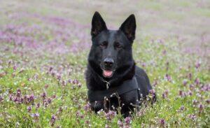 tan and black german shepherd