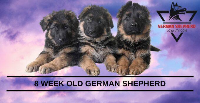 8 Week Old German Shepherd