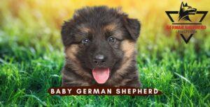 Baby German Shepherd