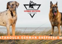 Catahoula German Shepherd Mix