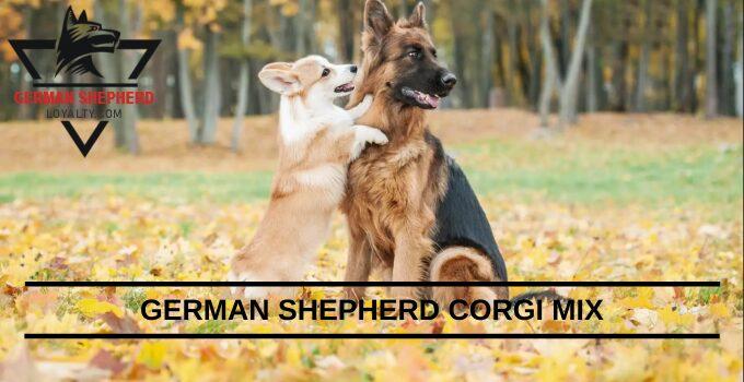 German Shepherd Corgi Mix