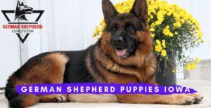 German Shepherd Puppies Iowa