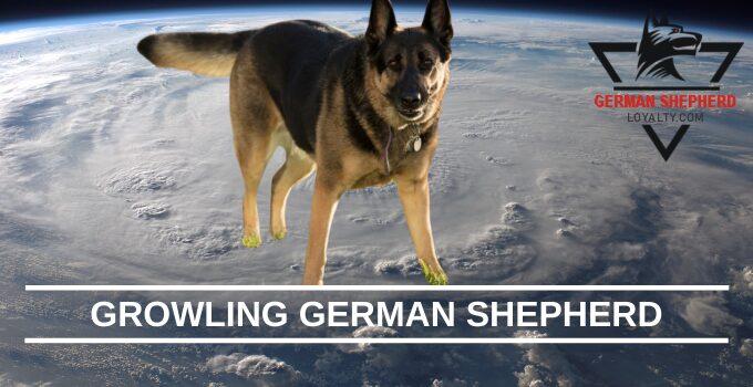 Growling German Shepherd