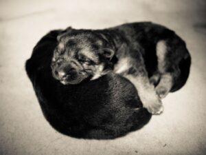 How to take care of newborn German shepherd puppies