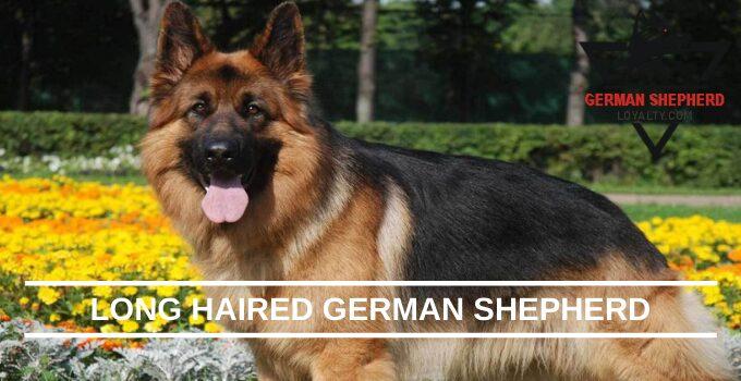 Long Haired German Shepherd