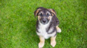 Shepnees puppy