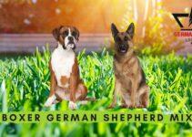 Boxer German Shepherd Mix