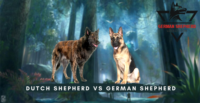 Dutch Shepherd vs German Shepherd
