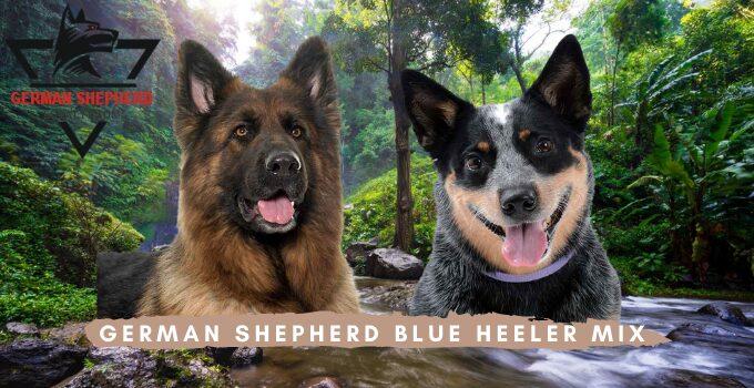 German Shepherd Blue Heeler Mix