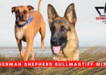 German Shepherd Bullmastiff Mix