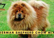 German Shepherd Chow Mix