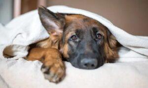 German Shepherd Golden Retriever Mix Temperament