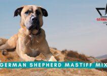 German Shepherd Mastiff Mix