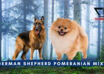 German Shepherd Pomeranian Mix