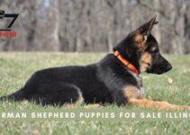 German Shepherd Puppies For Sale Illinois