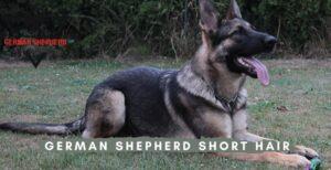 German Shepherd Short Hair