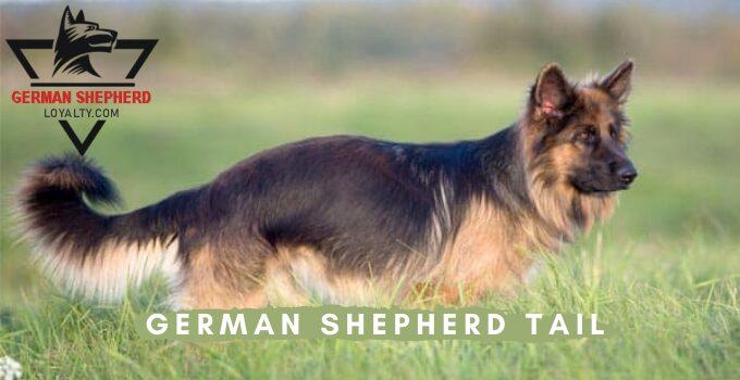 German Shepherd Tail