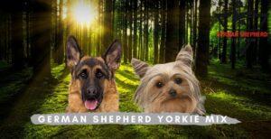 German Shepherd Yorkie MIX