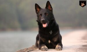 King Shepherd vs German Shepherd: What's the Difference ...