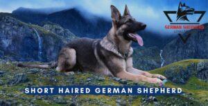 Short Haired German Shepherd