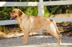 What is a German Shepherd Golden Retriever Mix