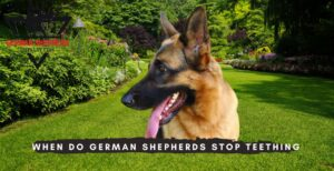 When Do German Shepherds Stop Teething