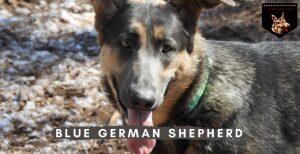 Blue German Shepherd