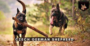 Czech German Shepherd