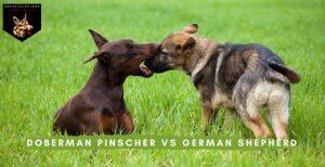 Doberman Pinscher vs German Shepherd