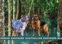 German Shepherd Australian Shepherd Mix