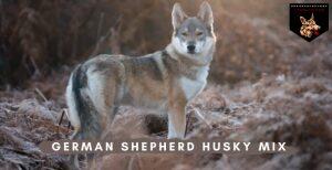 German Shepherd Husky Mix