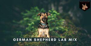German Shepherd Lab Mix
