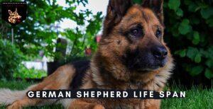 German Shepherd Life Span