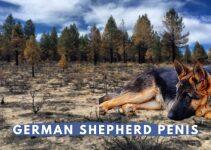 German Shepherd Penis