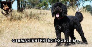 German Shepherd Poodle Mix