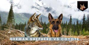 German Shepherd vs Coyote